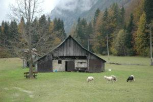Planšarija, kjer se pasejo ovce na poti med Planico in Kranjsko Goro. Vmes je bila tudi ena črna ovca, ki je ponavadi kriva za vse :).