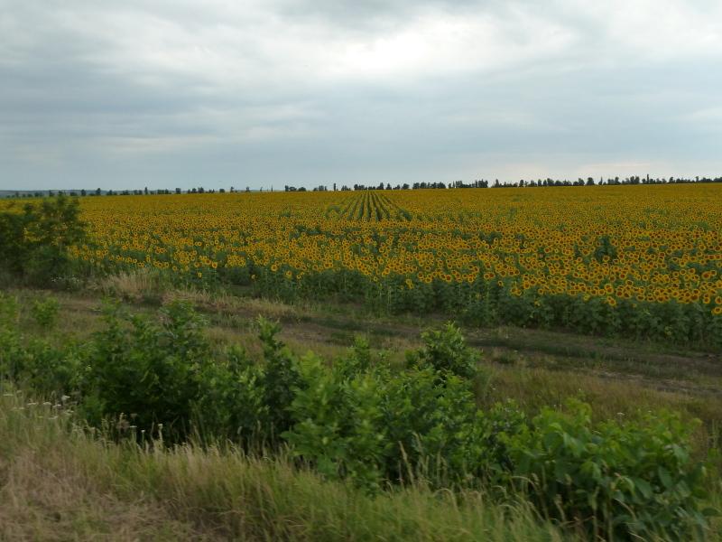 Ukrajina - njiva sončnic