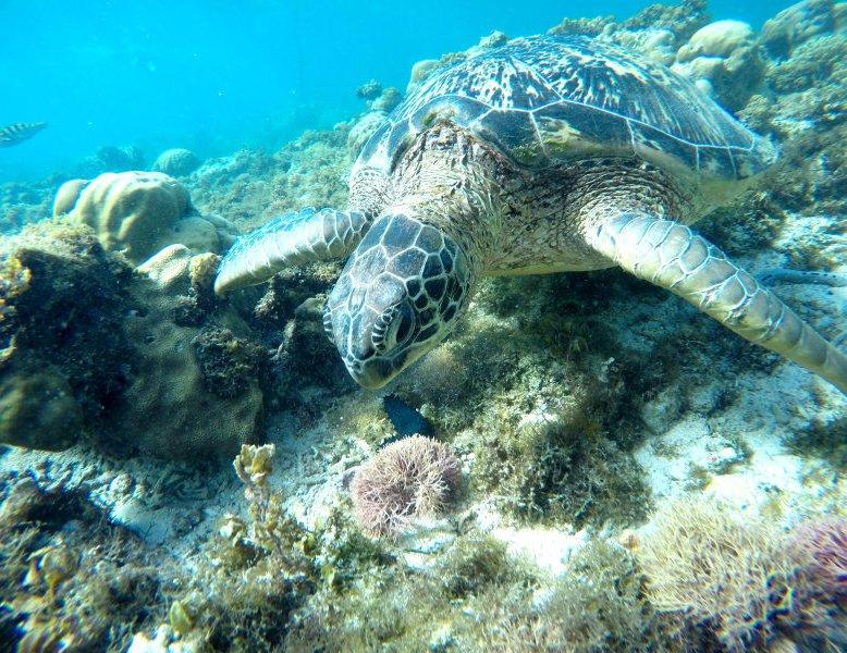 Filipini - želve na otoku Negros
