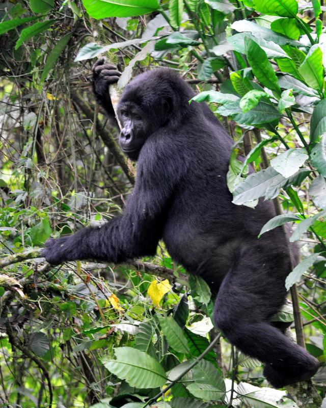 Uganda - gorske gorile