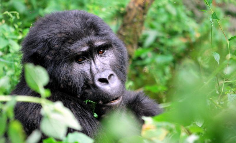 Uganda - gorska gorila