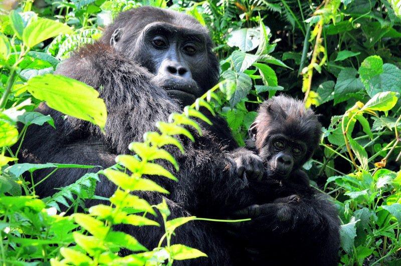 Uganda - maloštevilne gorske gorile
