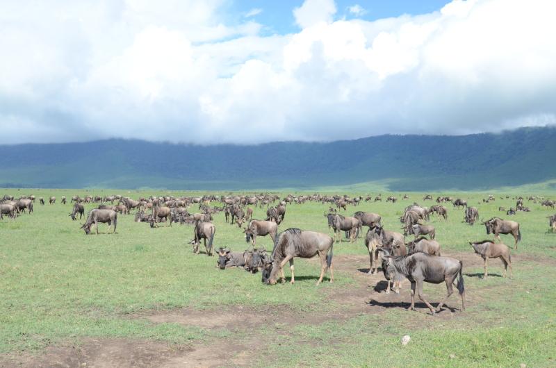Tanzanija - Ngorongoro in gnujij