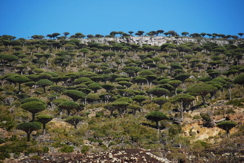 Jemen - gozd Zmajeve krvi Sokotra