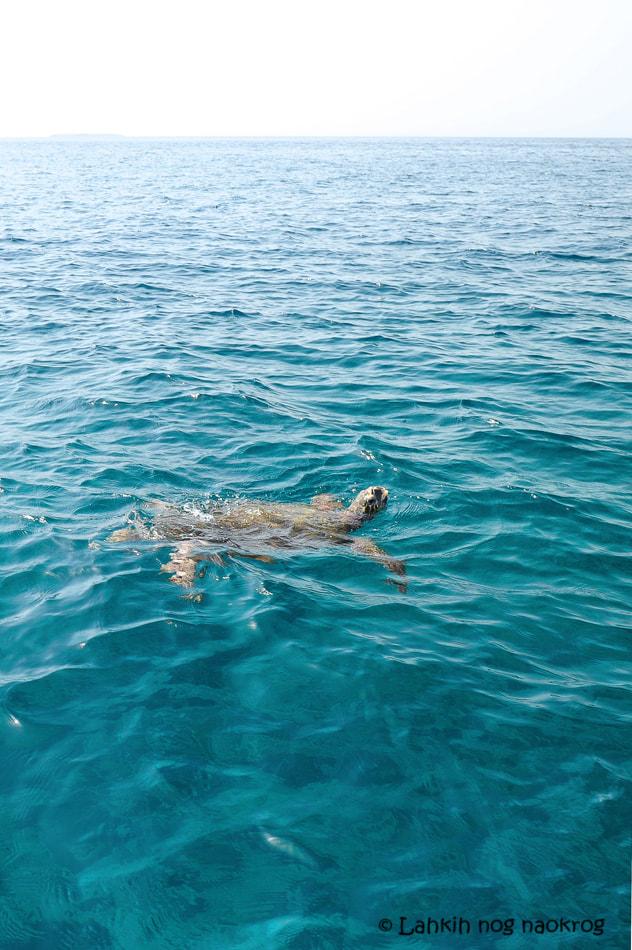 želva na otočju Daymaniat- Oman
