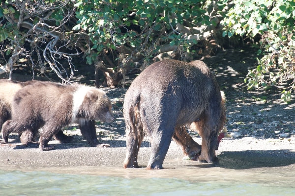 Kamčatka - Kurilsko jezero- medvedi