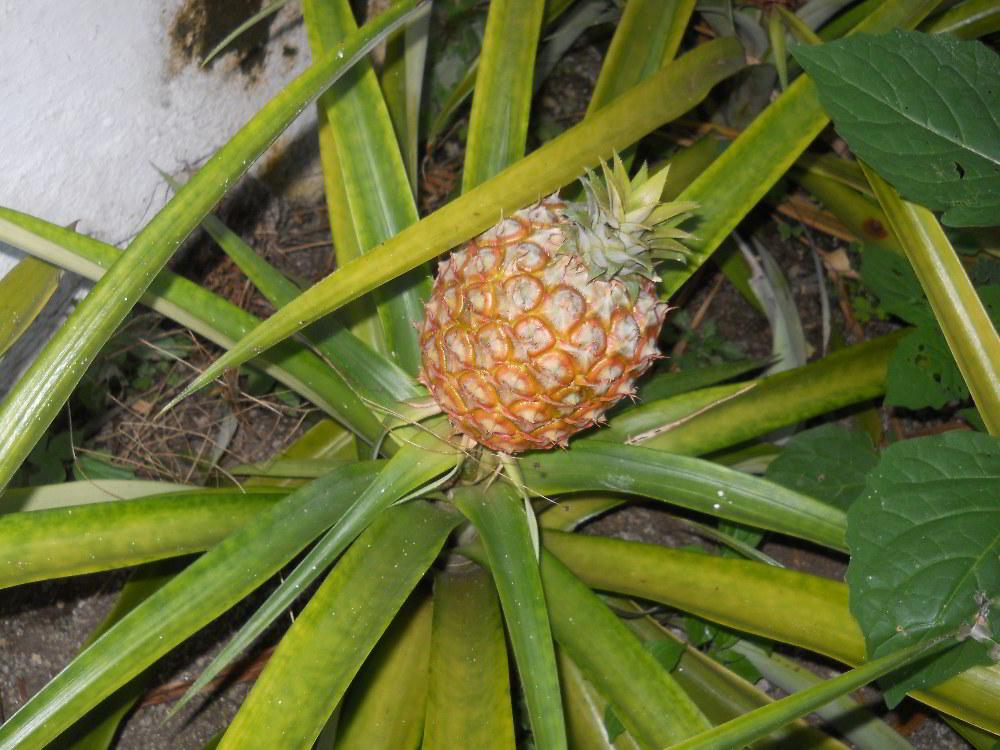 Azori- ananas - avtorja slik: Renata in Silvester Mavri
